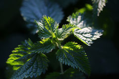 Fresh green young plant Royalty Free Stock Images