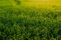 Fresh green young rice tree in the field. royalty free stock images