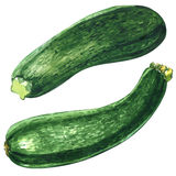 Fresh green zucchini or courgette isolated isolated, two objects, watercolor illustration on white Royalty Free Stock Photography