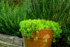 Fresh greenery foliage of needle-like leaves of Sedum angelina plant or stonecrop spreading in orange pottery, green leaves stock photography