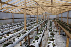 Fresh greenhouse plants inside the greenhouse. Fresh new plants just starting to grow inside the greenery, greenhouse . growing outside on lifted  wooden tables Royalty Free Stock Images