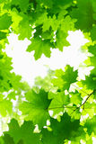 Fresh Grenn Maple Leaves. Stock Photography