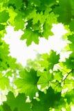 Fresh Grenn Maple Leaves. Stock Photography