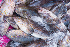 Fresh Grouper Fish (Cromileptes altivelis) in the street market royalty free stock image