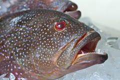 Fresh grouper fish on ice Stock Photos