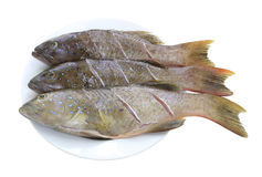 Fresh grouper fish (Leopard grouper) on dish for the ingredient Royalty Free Stock Photography