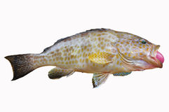 Fresh Grouper on white background,Fillet of Fish, Healthy food, Fresh fish from sea Royalty Free Stock Photos