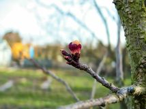 Fresh growing burgeon on tree branch with blurry background. Nature Stock Photography