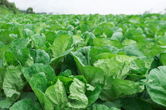 Fresh Growing cabbage field Royalty Free Stock Photography