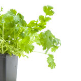 Fresh growing coriander Stock Photo