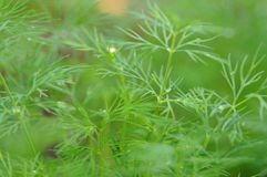 Fresh growing dill weed Stock Photo