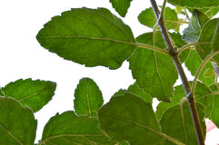 fresh growing grapevine with some new leaves royalty free stock photo
