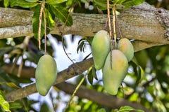 Fresh Growing Mangoes On A Tree. Closeup of fresh growing mangoes on a tree stock photos