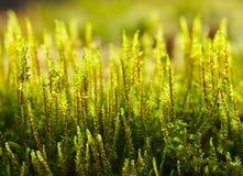 Fresh growing moss Royalty Free Stock Image