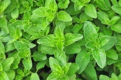 Free Fresh Growing Oregano Stock Images - 58180514