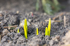Fresh growing spring flowers in soil Stock Image