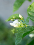 Fresh growing white jasmine flowers at garden home. Royalty Free Stock Image