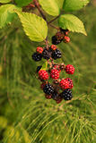 Fresh grown summer Blackberries in green background. In summer, fresh grown blackberries bunches are hanging with some ripe ones against a green vegetation Stock Photography