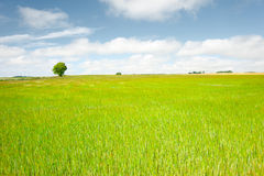 Fresh Growth. Cheerful summer landscape with prominent tree in field of corn/maize Stock Photography