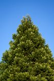 Fresh growth in spring green on a cone shaped evergreen tree, against a sunny blue sky stock photos