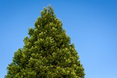 Fresh growth in spring green on a cone shaped evergreen tree, against a sunny blue sky royalty free stock photo