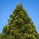 Fresh growth in spring green on a cone shaped evergreen tree, against a sunny blue sky royalty free stock image