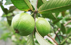 The Fresh Guava stock images