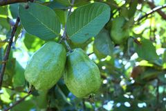 Fresh guava fruit on the tree Royalty Free Stock Images