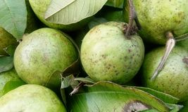 Fresh guava fruit in wooden tray royalty free stock images
