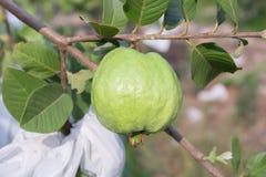 Fresh Guava in a garden Stock Image