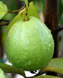 Fresh guava on a plant Stock Images