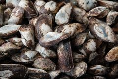 Fresh half propellor ark Trisidos semitorta shellfish at seafood market. stock photo