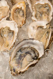 Fresh half-shell oyster on ice. In  restaurant Royalty Free Stock Photo