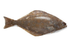 Fresh halibut fish Royalty Free Stock Photography