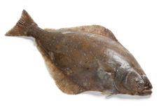 Fresh halibut fish Stock Photography
