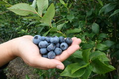 Fresh Blueberries. Handful of Fresh Blueberries Picked off the bush Royalty Free Stock Image