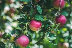 Fresh harvest apples on tree branch in garden Royalty Free Stock Image