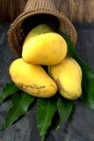 Fresh harvest mango Stock Images