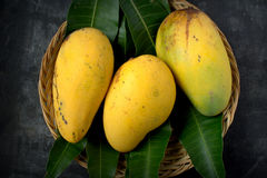 Fresh harvest mango. Fruit with classic wooden background Royalty Free Stock Image