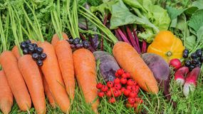 Fresh harvest organic carrots, lettuce,radishes,beets, pumpkin with mountain ash collected in a pile on the green grass. Fresh harvest of organic carrots Royalty Free Stock Photos