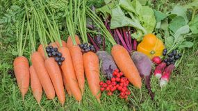 Fresh harvest organic carrots, lettuce,radishes,beets, pumpkin with mountain ash collected in a pile on the green grass. Fresh harvest of organic carrots Royalty Free Stock Images