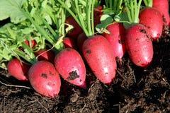 Fresh harvest organic Radish stock photo