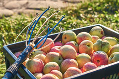 Fresh harvested apples in the crate and a fruit picking tool royalty free stock photography