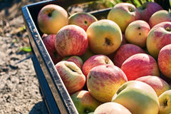 Fresh harvested apples in the crate. Fresh harvested organic apples in the crate Stock Images