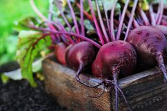 Fresh harvested beetroots in wooden crate, pile of homegrown organic beets with leaves stock photos
