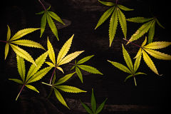 Fresh harvested cannabis leaves pattern isolated over black back Royalty Free Stock Photography