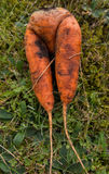 Fresh harvested carrots on the ground Royalty Free Stock Photo