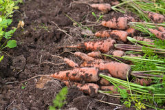Fresh harvested carrots in the vegetable garden Royalty Free Stock Image