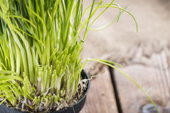 Fresh harvested Chives Stock Photo