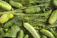 Fresh harvested cucumbers, dill's beam. Couple composition in the sunlight Royalty Free Stock Photos
